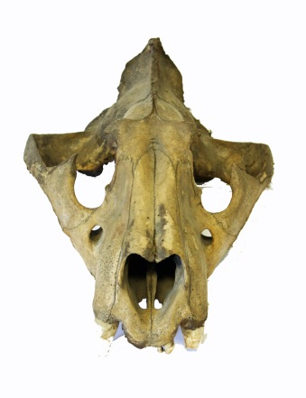 lion skull front